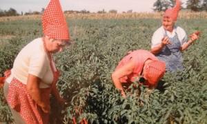 paprika harvest